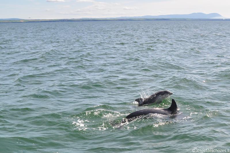 Irlande Dauphins sauvages